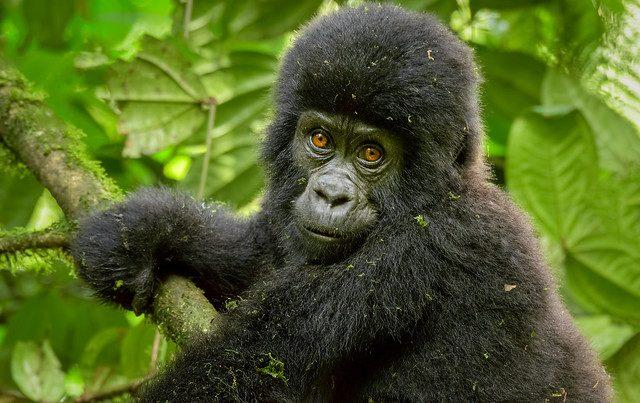 7 days East Africa Gorilla trekking safari