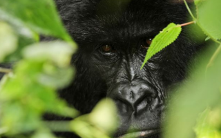 7 days East Africa Gorilla trekking safari