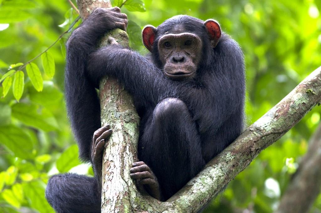 Chimpanzee trekking in Virunga
