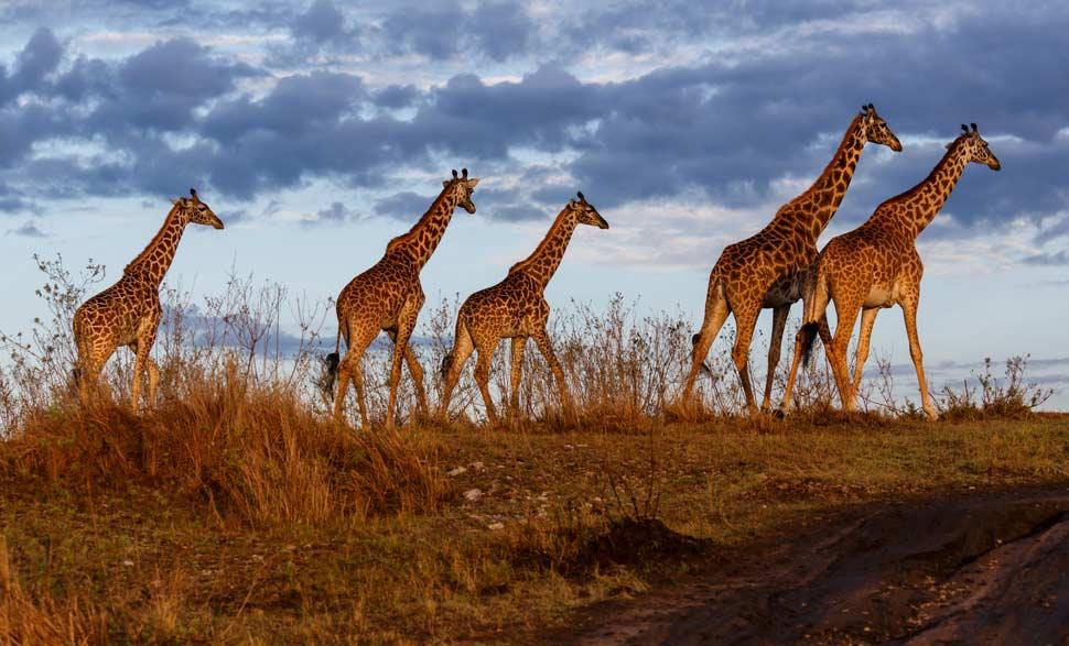 Giraffes in Masai Mara National Park - Kenya