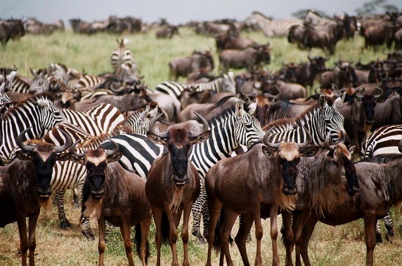 Wildebeest in Serengeti