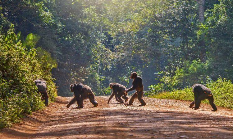 2 Days Chimpanzee trekking in Kibale Rorest National Park