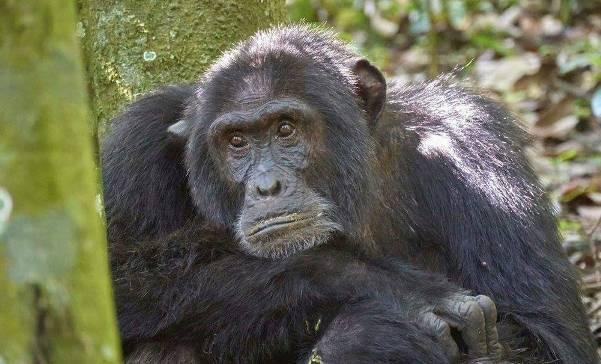 4 Days Kibale Forest and Ngamba Island chimpanzee trekking safari