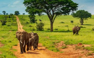 5 Days Gorilla habituation experience and Queen Elizabeth wildlife safari