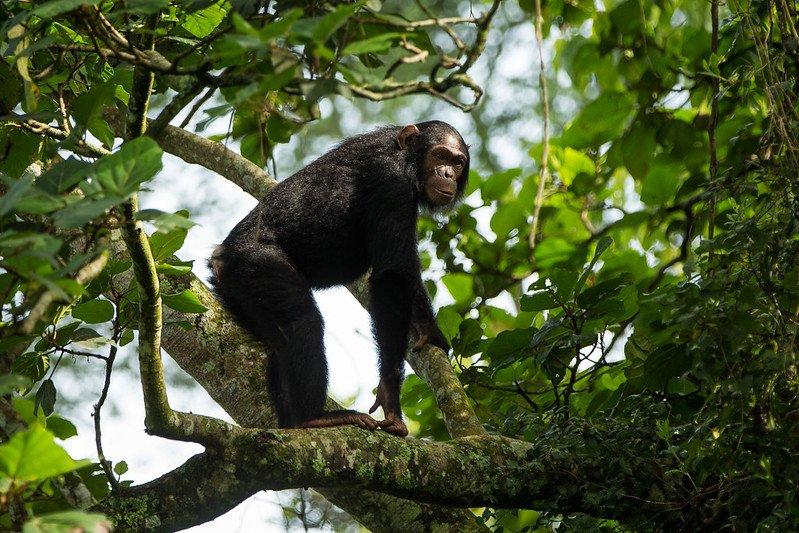 6 Days Great Ape (Chimps, Gorillas and Nyiragongo)
