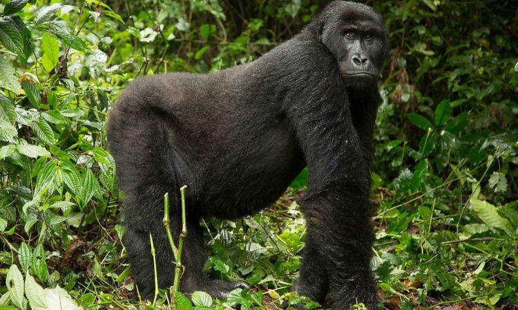 4 Days Congo Eastern lowland gorilla trekking safari