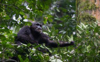 3 Days Kibale Chimpanzee Habituation safari - Flying Option