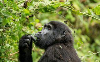 3 Days Rwanda Luxury Mountain Gorilla safari