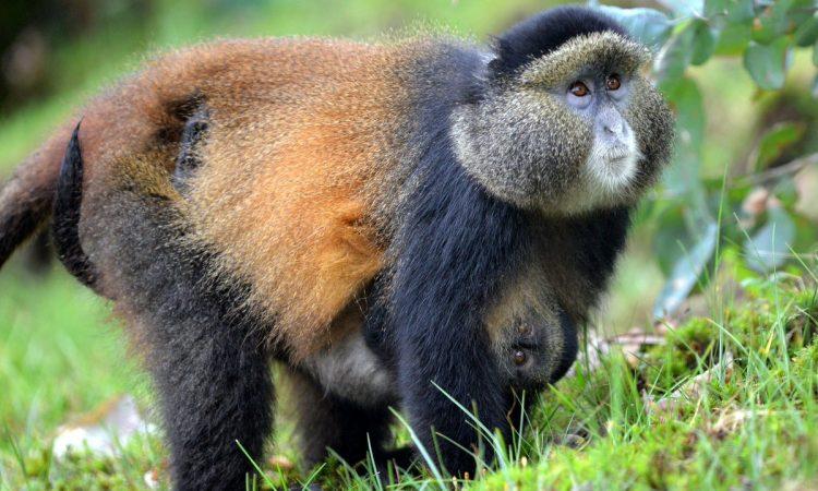 4 Days Uganda Rwanda Primate Safari and Cultural tour