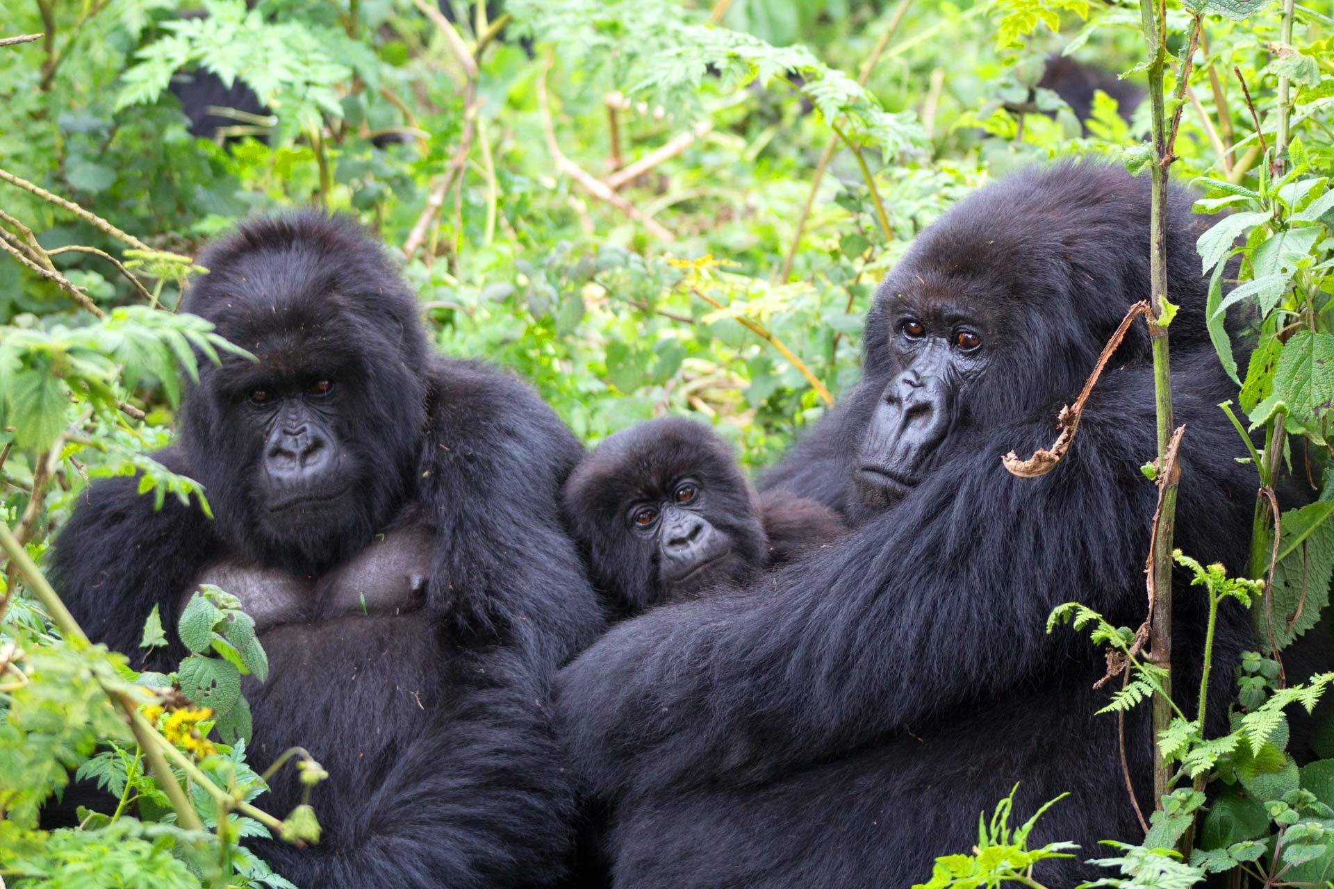 Gorilla Trekking in Mgahinga