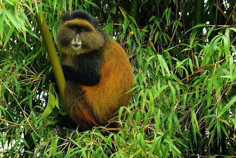 4 Days Uganda Gorilla trekking & Golden Monkey trekking
