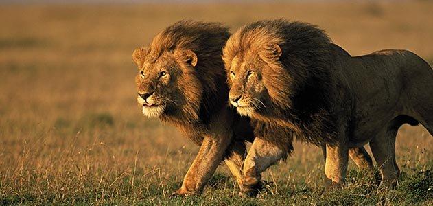 18 days Combined Uganda Rwanda & DRCongo safari